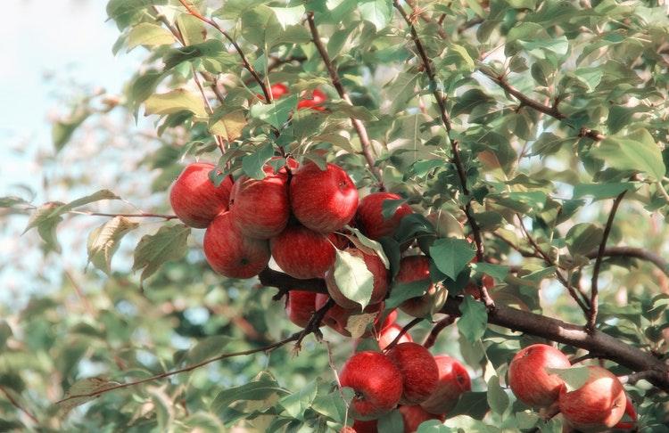 Röda äpplen på träd
